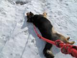 1037 Scruffy the snow dog.jpg