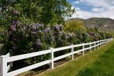 9120 Lilacs1.jpg