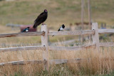 9510 Turkey vulture.jpg