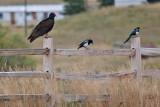 9511 Turkey vulture.jpg