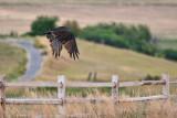 9513 Turkey vulture.jpg