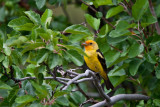 9471 Western tanager.jpg