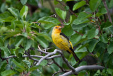 9472 Western Tanager