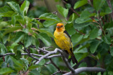 9473 Western Tanager