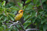 9475 Western Tanager
