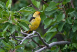 9476 Western Tanager