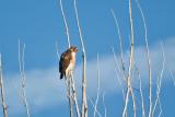 0167 Red-tail Hawk.jpg