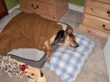 1378 Scruffy sleeping.jpg