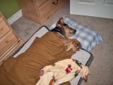 1381 Scruffy sleeping.jpg