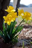 0211 Daffodil.jpg