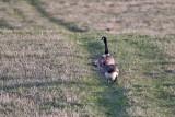 0215 Canada Goose.jpg