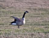 0226 A Canada goose.jpg