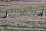 0231 Canada Goose.jpg