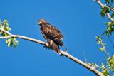 0560 Redtail hawk on branch.jpg