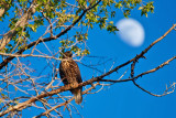 0586 Redtail Hawk with moon 2.jpg