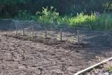0750 Tomatos planted.jpg