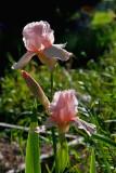 0751 Pink Iris 1.jpg