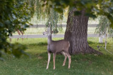 1263 Deer willow tree.jpg