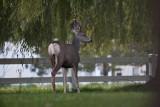 1268 Deer willow tree.jpg