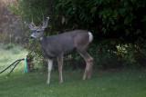1272 Deer willow tree.jpg