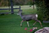 1273 Deer willow tree.jpg