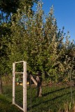 1294 Apple tree.jpg
