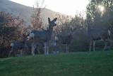 1426 Early morning visitors  Deer.jpg