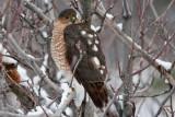 1701 Sharp-shinned hawk