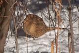 1761 Pheasant 2015.jpg
