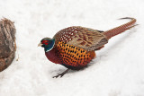1769 Pheasant 2015.jpg