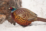 1779 Pheasant 2015.jpg