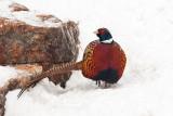 1791 Pheasant 2015.jpg