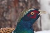 1801 Pheasant 2015 A.jpg
