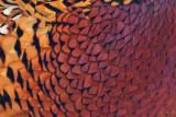 1801 Pheasant 2015 B.jpg