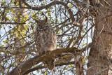 0383 great horned owl.jpg