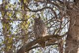 0384 great horned owl.jpg