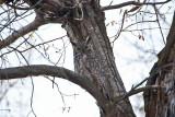 0396 great horned owl.jpg