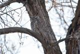 0401 great horned owl.jpg