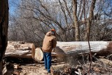 2092 Cutting cottonwood.jpg