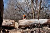 2095 Cutting cottonwood.jpg