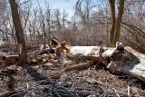 2104 Cutting cottonwood.jpg