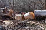 2107 Cutting cottonwood.jpg