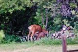 2604 Bambi.jpg
