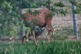2609 Bambi.jpg