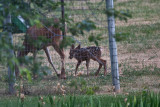 2611 Bambi.jpg
