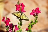 2620 Tiger swallowtail