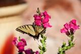 2621 Tiger swallowtail