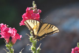 2623 Tiger swallowtail