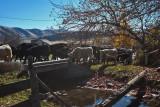 3104 Cattle drive.jpg