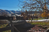 3105 Cattle drive.jpg